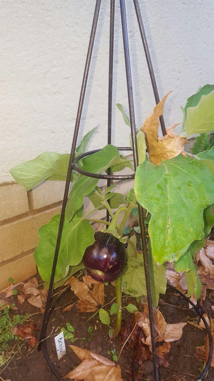 Eggplant growing well through a Johannesburg winter
