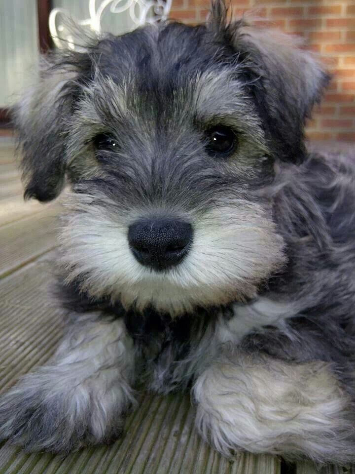 Schnauzer puppy has some concerns about your plans for the evening, especially the part when you leave.