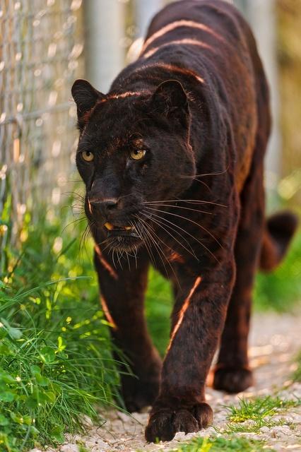 puma, black pantha