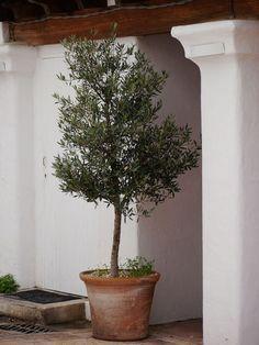 Olivenbaum umtopfen