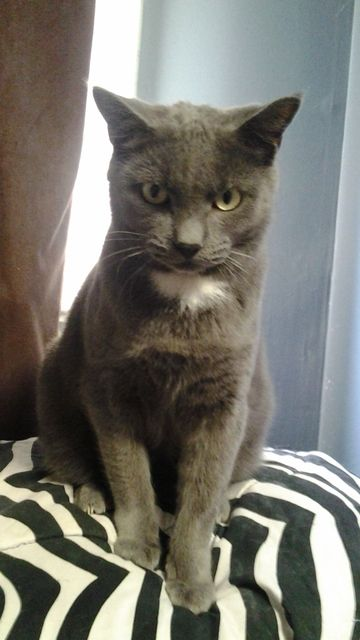 Check out Ombre's profile on AllPaws.com and help him get adopted! Ombre is an adorable Cat that needs a new home. https://www.allpaws.com/adopt-a-cat/domestic-short-hair-mix-korat/7578970?social_ref=pinterest