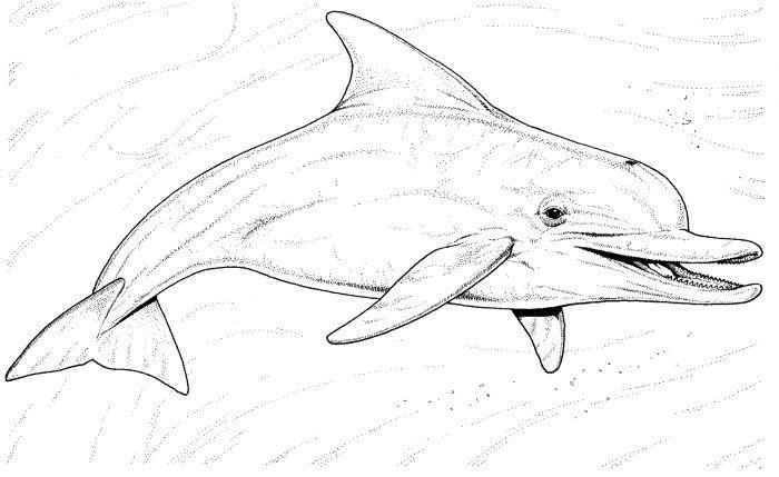 42 best dolphin images on Pinterest | Tümmler, Delphine und Malen