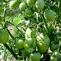 выращивание томатов по голландской технологии