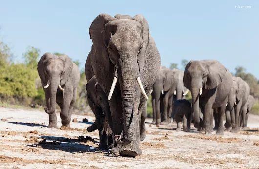 Słonie - zdjęcie Kaśka Sikora #słonie #fotografiaprzyrody #safari #KaśkaSikora #Sikora #KatarzynaSikora #Zdjęcia #fotografWarszawa