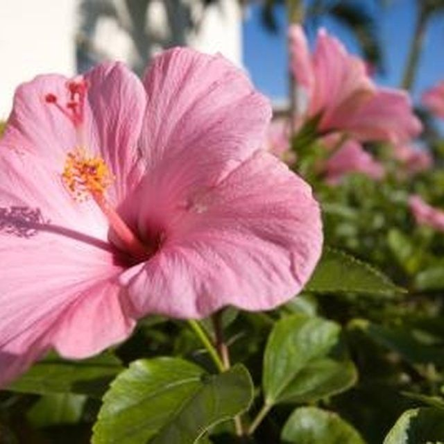 Hibiscus Care: 1000+ Ideas About Hibiscus Tree On Pinterest