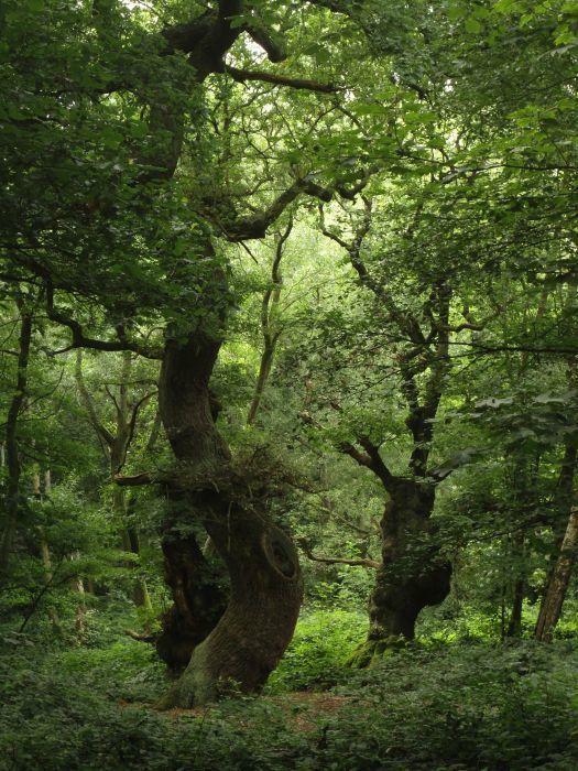 Old trees in Hampstead Heath