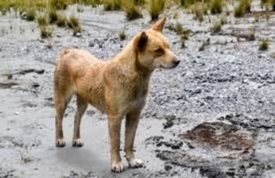 Aside from finding out that the famous singing dogs of New Guinea are close relatives of the highland wild dog, it was also discovered that they are probably the most ancient species of dog still alive.  They may also be a key ancestor of domesticated dogs, too.