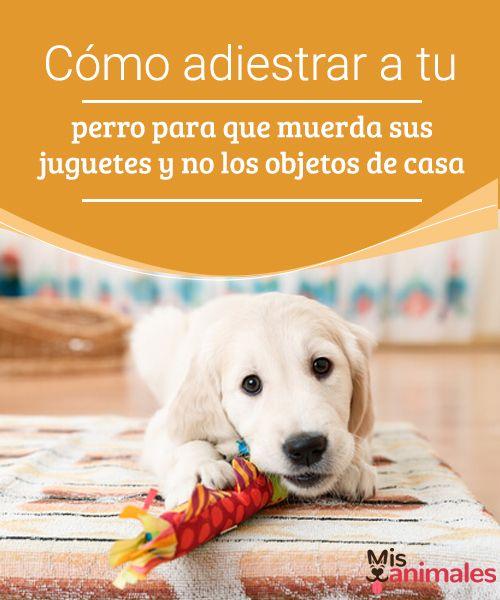 Cómo adiestrar a tu perro para que muerda sus juguetes y no los objetos de casa - Mis animales  Cómo lograr que tu perro muerda sus juguetes y no otros objetos. Debes enseñarle –entre muchas otras cosas- qué se puede morder y qué no.