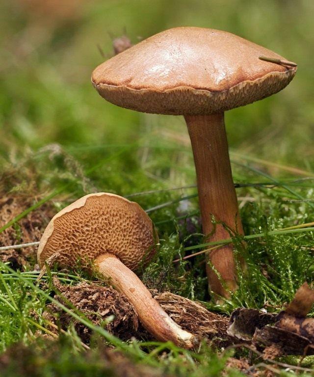 Фото грибов средней полосы россии