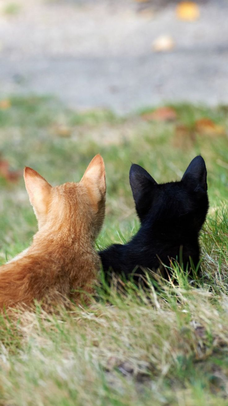Exact kitties my boys want!!  Well, I admit..I want a black kitty really bad..soon.--ds