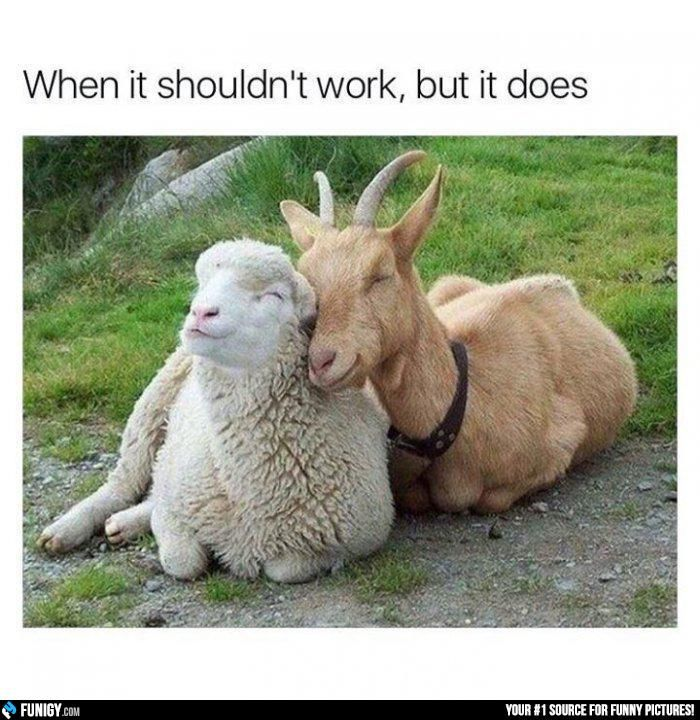 When it shouldn't work, but it does (Funny Animal Pictures) - #goat #sheep #work