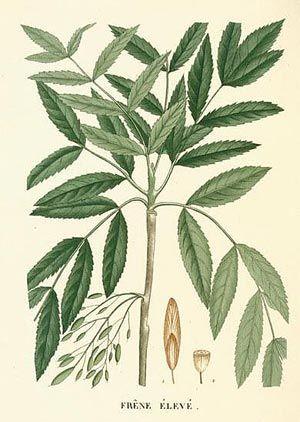 Frêne (Fraxinus excelsior)| Remèdes de Grand-Mère
