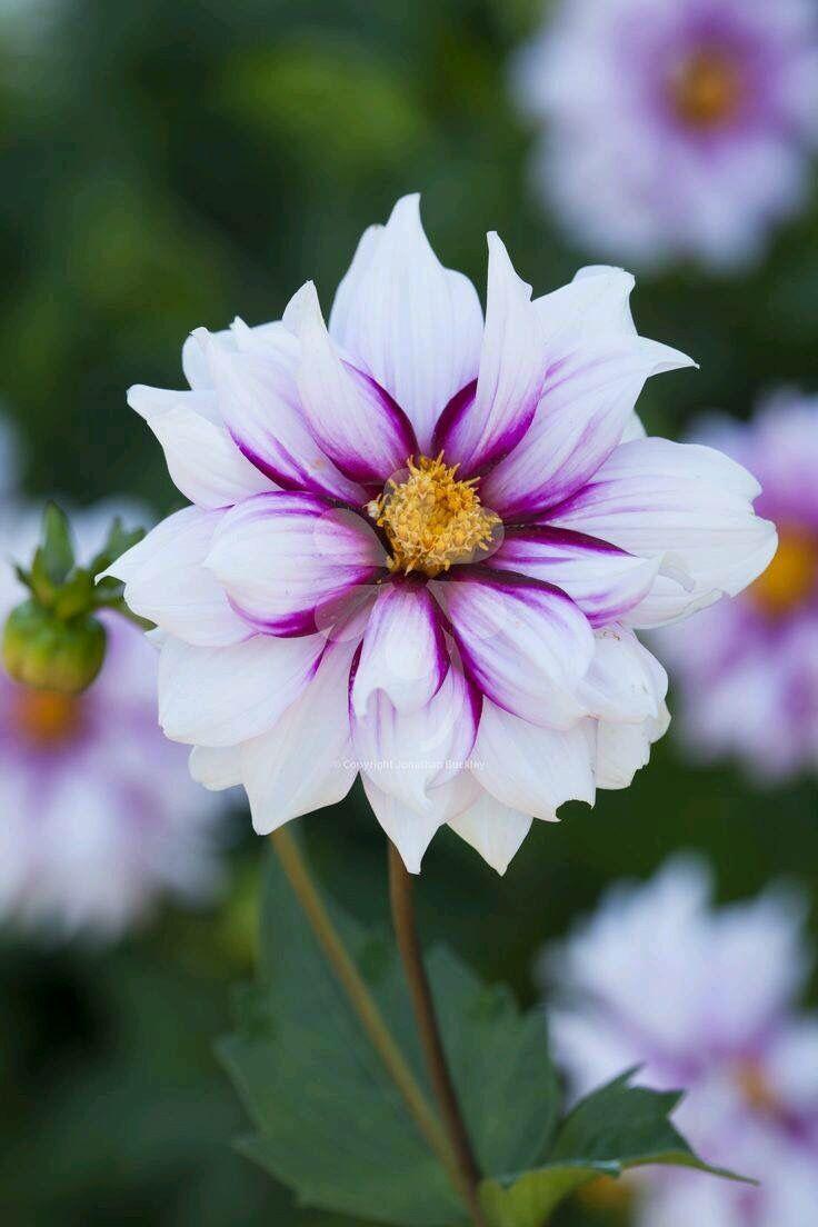 Best 25 Purple Dahlia Ideas On Pinterest Colorful