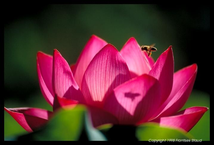 lotus and bee: Bees Cuz, Photos Galleries, Absolutely Japan, Lotus Gardens, Bumble Bees, Japan Rocks Gardens, Hokongo In Temples, Japanese Rocks Gardens, Japan Photos