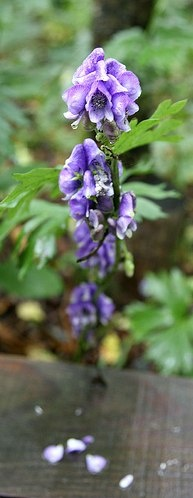 Aconitum ferox, the strongest poisonous plant of the Himalayas: Aconitum Ferox, Holistic Living, Gothic Gardens, Holistic Health, Health Benefits, Plants, Earth Medicine, Living Ideas, Healthy Living