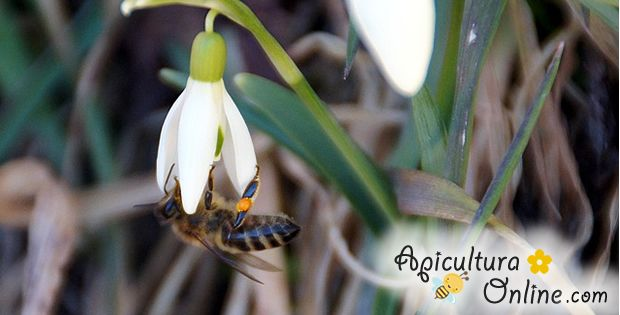 Bee on a snowdrop