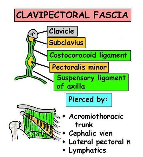 V Imp    Clavipectoral Fascia      Acromiothoracic Trunk