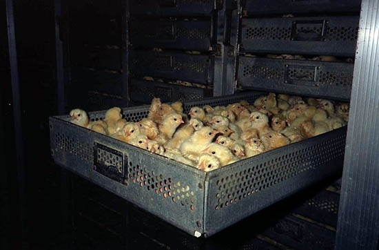 Chicks Hatched in IncubatorsAt chicken hatcheries, chicks enter the factory farming world packed into huge drawers. #factory farming #food #cruelty