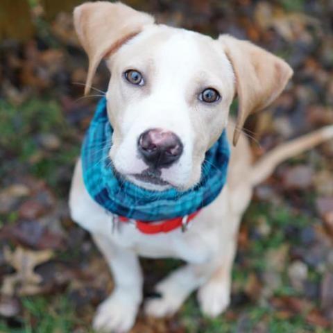 Adopt Malachi on Labrador retriever, Labrador retriever