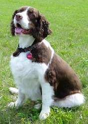 Adopt Charlie on English springer spaniel, Spaniel dog