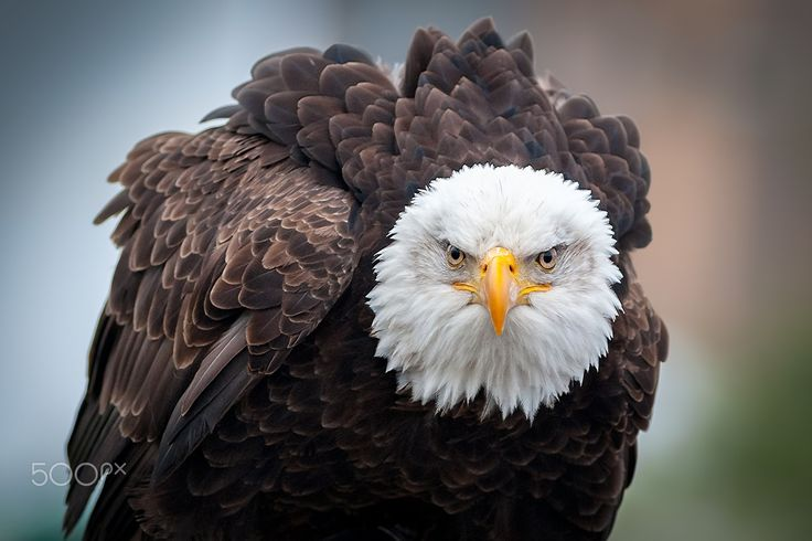 Eagle Eyes - A bald eagle fluffs its feathers on a cold day in British Columbia.