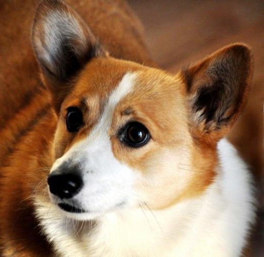 The Favorite Dog Breed of the British Royal Family  Did you know, Pembroke Welsh Corgis are in fact the most popular of dog breeds with the British Royal family? Queen Elizabeth the Second alone owns an outstanding number of 16 Pembroke Welsh Corgis...