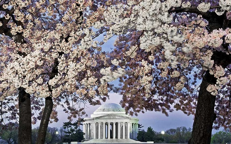 Washington, USA  Washington has been celebrating the cherry blossom since the trees were given as a gift to the city in 1912 from Tokyo's Mayor Ozaki.  The National Cherry Blossom Festival lasts from March 20 - April 14 and involves 3000 trees, with a parade on April 13, featuring floats, giant balloons and musical performances.
