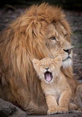 Lion & his cub