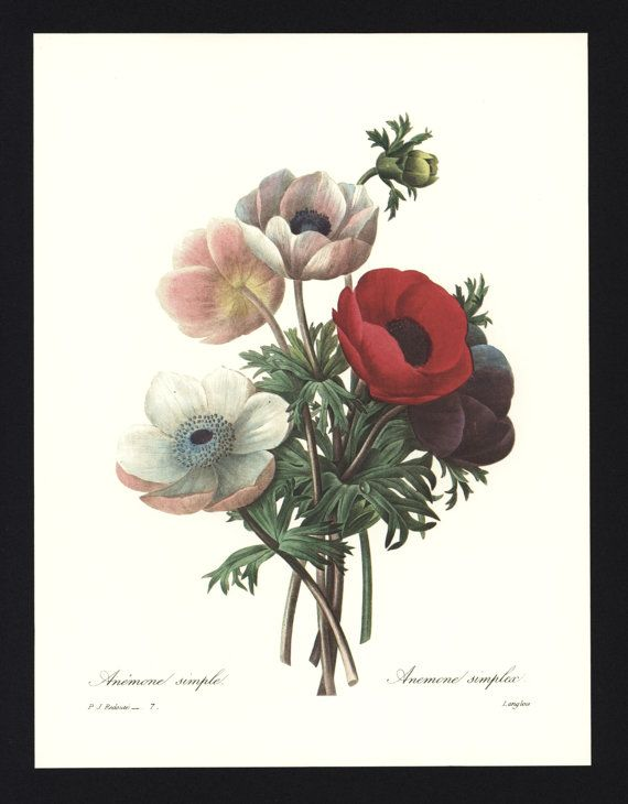 Plate 4341 Anemone Japonica Japanese Anemone Flower Illustration Botanical Painting Botanical Drawings