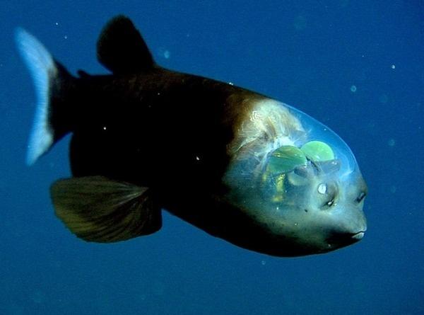 Shishamo Makropinna (fish with a clear head)!