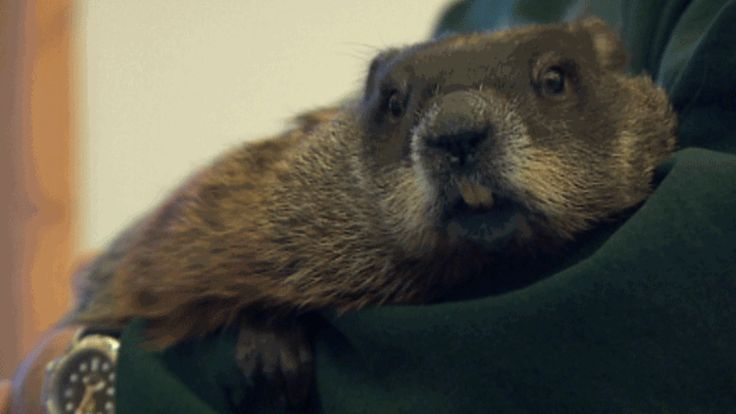 A lovable woodchuck known for her nose-to-the-ground weather predictions has died just days before Groundhog Day.