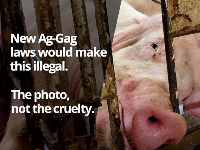 New laws proposing to fine and/or gaol animal welfare activists for exposing animal cruelty shows that, under the Abbott Government, freedom of speech is only a right for the Right. https://independentaustralia.net/politics/politics-display/ag-gag-laws-expose-coalitions-freedom-of-speech-hypocrisy,7751