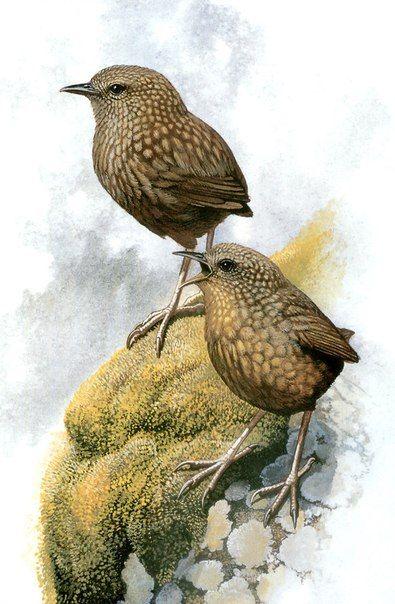 Стефенский кустарниковый крапивник (Traversia [Xenicus] lyalli), Новая Зеландия. Истреблен на главных островах Новой Зеландии полинезийской крысой; последняя популяция на маленьком островке Стивенс уничтожена одичавшими кошками к 1895 году.