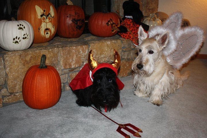 Angel and Demon -Scottie Dogs, Puppies Dogs, Halloween Costumes, Doggie Dresses, Scottie Stuff, Holiday Deco, Angels And Demons, Terrific Terriers, Fur Baby