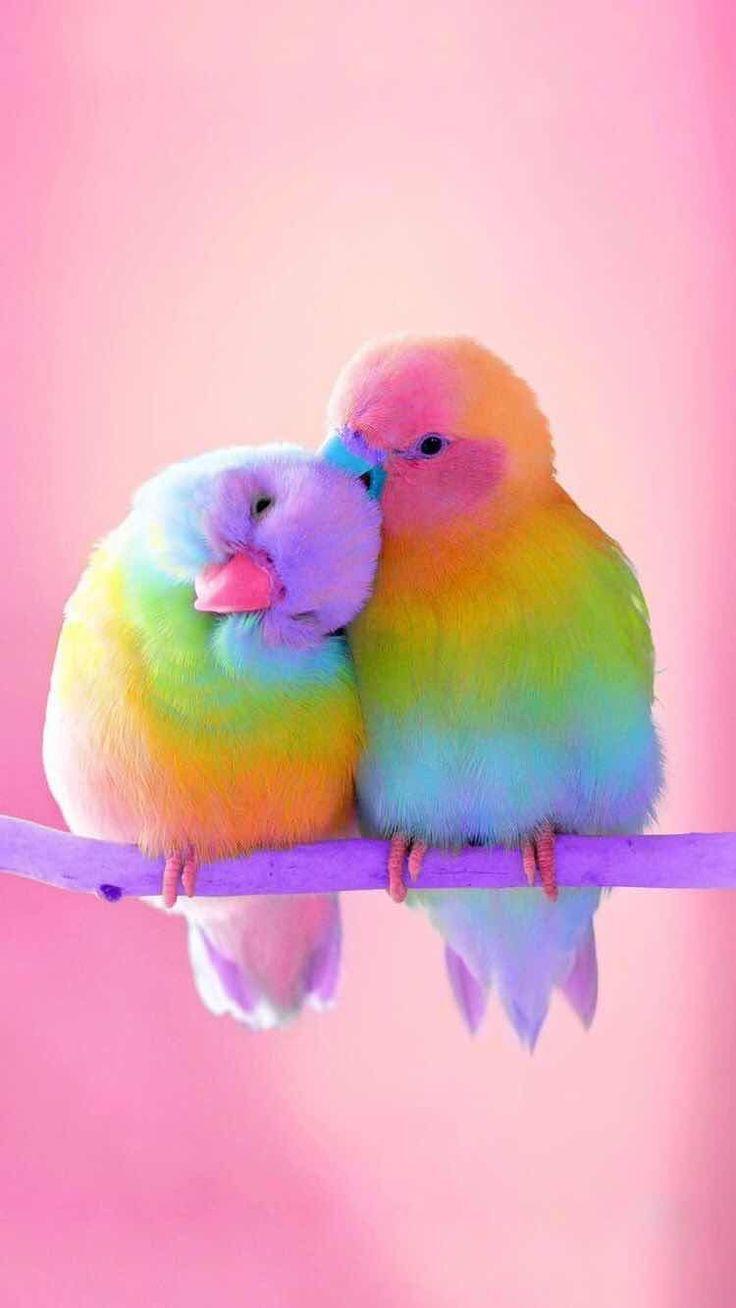 Love birds (с изображениями) | Разноцветные животные, Обои ...