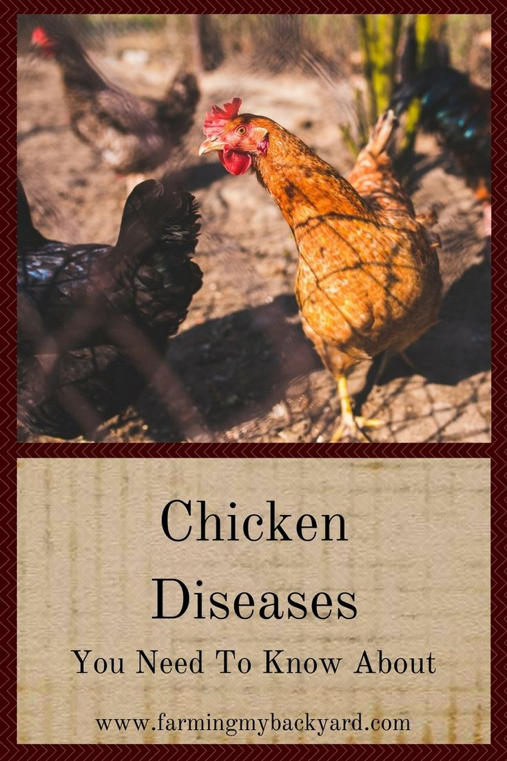 619 best chickens u0026 turkeys hbn images on pinterest backyard