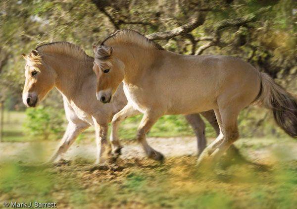 norwegian fjord horse mare - Google Search