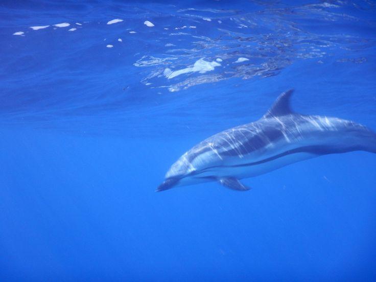 #dolphins#dauphins Dauphins observé sous l'eau par les participants à une sortie Nager avec les dauphins