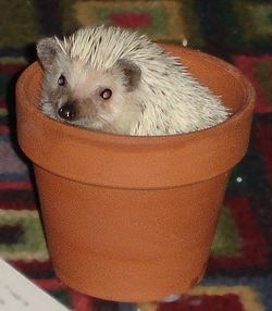 Domesticated hedgehog - Wikipedia, the free encyclopedia