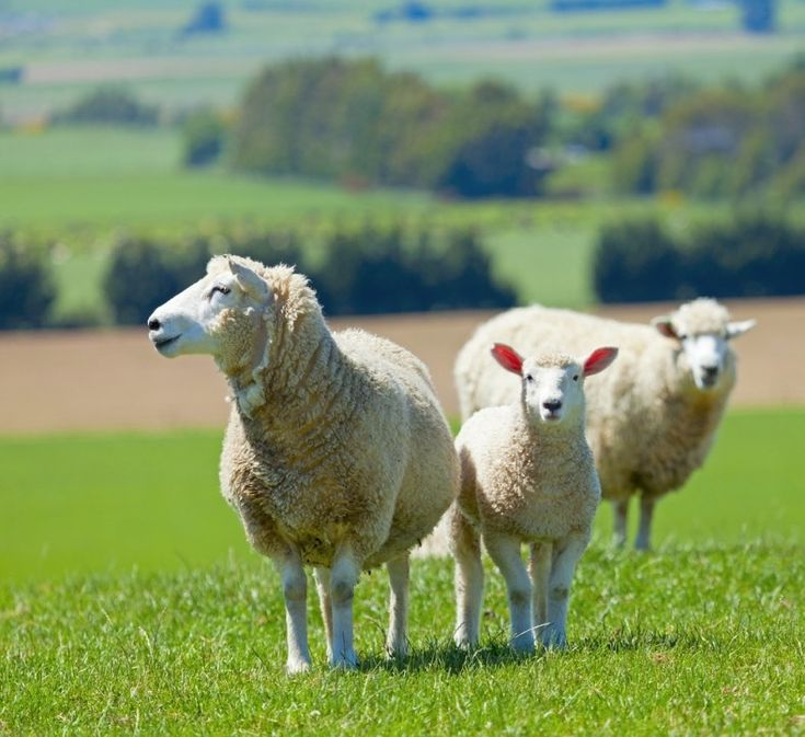Australian Sheep Farm - Some possess the natural born ability while others take the time to learn the ability. Some can see how colors blend perfectly like coffee and milk. It's interior. However, you don't have to become a good arts graduate or possess an interior designer diploma to...