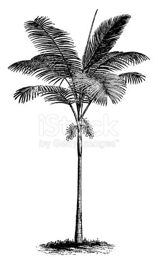 Old engraving of a palm tree, isolated on white. Scanned at 600 DPI with very high resolution. Published in Systematischer Bilder-Atlas zum Conversations-Lexikon, Ikonographische Encyklopaedie der...