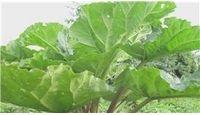 How to Transplant Rhubarb Plants |