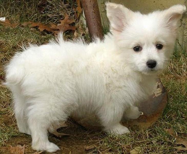 perros de raza mestiza- Toy Poodle Corgi
