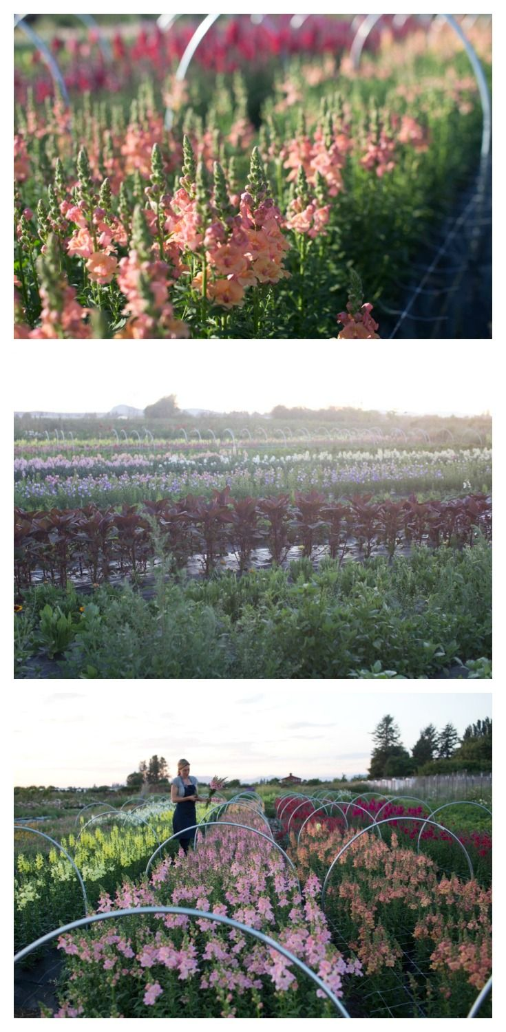 Snapdragons and other late June flowers at Floret Flower Farm. #farmerflorist