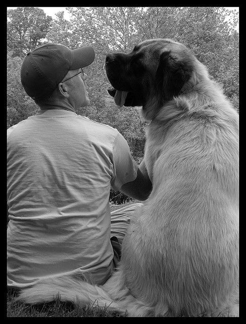 These Mastiffs are called fluffies due a recessive gene that causes long hair.  Just like my Ruger!