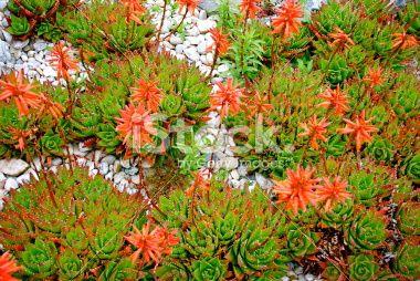 Aloe Aristata Cactus in Bloom Royalty Free Stock Photo