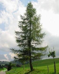 7. Modrzew europejski (60 cm rocznie)