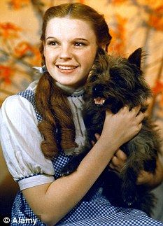 The Wizard of Oz (1939) / The part of Dorothy's pet dog in the movie was originally scripted for a miniature dachshund named 'Otto' who was owned by actress Margaret Hamilton who played the Wicked Witch of the West in the movie. In that pre-WW2 era tho, the studio was nervous about using a dachshund (German dog), so they substituted a Norwich terrier (British dog) they called 'Toto' instead (same letters as 'Otto').