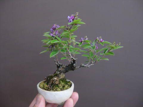 """Baby"" Bonsai 53 ~ 盆栽:紀州萩とかが咲く|春嘉の盆栽工房"