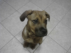Emmy is an adoptable Boxer Dog in North Haledon, NJ. Emmy is a 6 month old boxer/mastiff mix. She is playful and goofy and needs an experienced owner to help her learn how to be the great dog she can ...